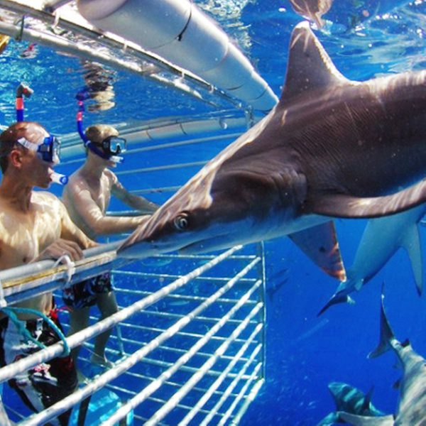 Shark Diving Adventure Tour Hawaii